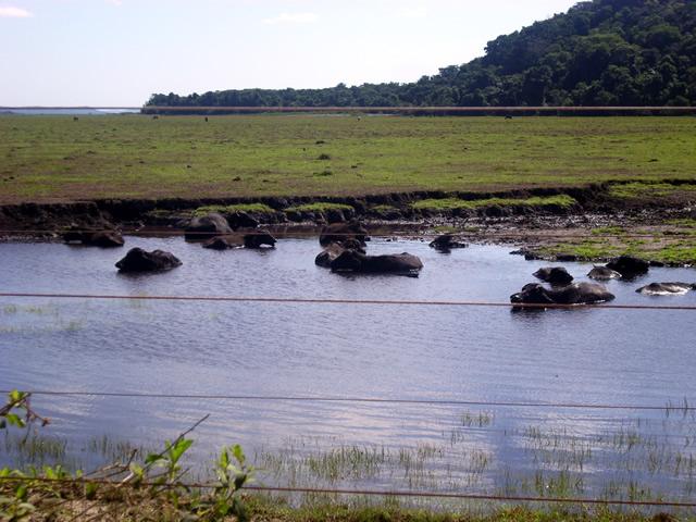 Bufalos camino a Praia do Espelho