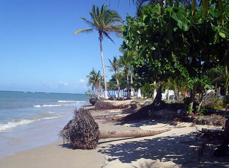 Cocoteros caidos por el crecimiento de las mareas